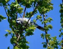 Un geai bleu #4 photographie stock libre de droits