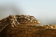 Un gecko imagen de archivo