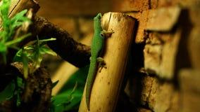 Un gecko de jour de paon photos libres de droits