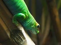Un gecko géant de jour du Madagascar sur une tige en bambou images stock