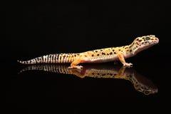 Un gecko hermoso del leopardo Fotografía de archivo