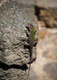Un gekko con los modelos verdes encendido se está sentando cómodamente en una piedra oscura en el sol Fotos de archivo