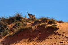 Un Gemsbok (gazella d'oryx) en Namibie, Afrique Image stock