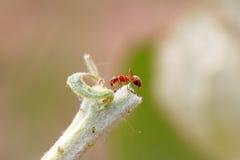 Formiche marroni mercerizzate della foresta Fotografia Stock Libera da Diritti