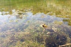 Un genre de grenouille Photographie stock