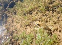 Un genre de grenouille Images stock