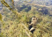 Un genre de grenouille Photos libres de droits