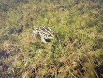 Un genre de grenouille Photo stock