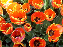un genre de tulipes Image stock