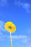 Un gerbera giallo contro i precedenti del cielo Fotografie Stock
