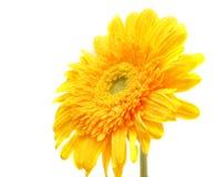 Un gerbera giallo del fiore Fotografia Stock Libera da Diritti