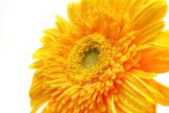Un gerbera giallo del fiore Fotografia Stock