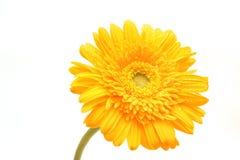 Un gerbera giallo del fiore Immagine Stock