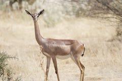 Un Gerenuk nel parco nazionale di Amboseli nel Kenya Fotografie Stock Libere da Diritti