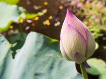 Un germoglio di fiore del loto Immagini Stock