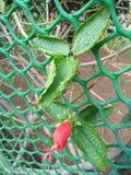 Un germoglio di fiore rosso con le foglie verdi Fotografia Stock Libera da Diritti