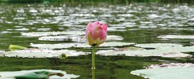 Un germoglio di fioritura del loto in fiume Fotografie Stock