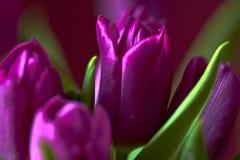 Un germoglio lilla del tulipano Macro Tulipani lilla Germoglio, petali, mazzo Fotografie Stock Libere da Diritti
