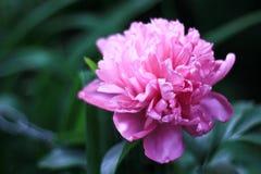 Un germoglio rosa sbocciante della peonia su un fondo verde scuro, immagini stock