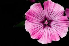 Un germoglio sbocciante con i petali rosa luminosi e un nucleo con i semi bianchi Macro fiore immagine stock libera da diritti