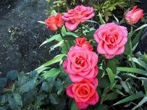 Un germoglio sbocciante di una rosa Bush con una rosa immagini stock