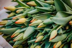 Un germoglio verde di un tulipano che fiorisce nel giardino fotografie stock