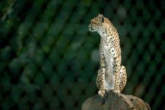 Un ghepardo Fotografie Stock Libere da Diritti
