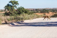 Un ghepardo che attraversa una strada non asfaltata Fotografia Stock Libera da Diritti