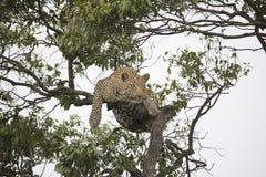 Un ghepardo che cammina e che riposa su un ramo di albero in Africa fotografia stock libera da diritti
