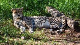Un ghepardo che riposa nella tonalità fotografia stock libera da diritti