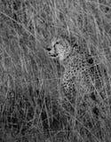 Un ghepardo che si nasconde nell'erba immagine stock libera da diritti