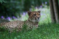 Un ghepardo che si trova nell'erba immagine stock