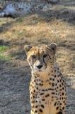 Un ghepardo guarda la macchina fotografica stranamente Fotografia Stock