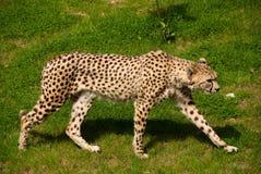 Un ghepardo in primo piano Fotografie Stock Libere da Diritti