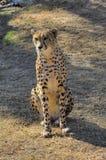 Un ghepardo si siede e considera dopo la macchina fotografica Fotografia Stock