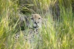 Un ghepardo si siede in erba verde-cupo di tutela della fauna selvatica di Lewa, Kenya del nord, Africa Fotografia Stock