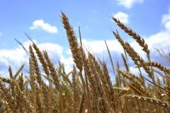 Un giacimento di grano contro un cielo blu Fotografia Stock