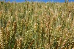 Un giacimento di grano nell'Idaho del Nord Fotografia Stock