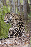 Un giaguaro maschio Immagine Stock