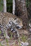 Un giaguaro maschio Immagini Stock