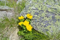 Un giallo fiorisce Fotografia Stock