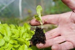 Un giardiniere che fora una pianta della lattuga Fotografia Stock