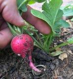 Un giardiniere domestico che raccoglie un ravanello rosso maturo fotografia stock libera da diritti