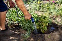 Un giardiniere senior che innaffia le piante fresche in un letto del giardino per spinta di crescita con la pistola di innaffiatu immagini stock libere da diritti
