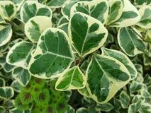 Un giardino con le foglie naturali della pianta nella forma del cuore e nella goccia verdi di pioggia sulla superficie immagine stock libera da diritti