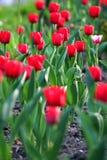 Un giardino enorme con i bei tulipani rossi fertili su un'alta gamba verde massiccia Immagini Stock Libere da Diritti