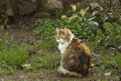 In un giardino, un gatto tricolore con gli sguardi fissi rossi del collare indietro fotografia stock libera da diritti