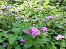Un giardino porpora sbocciante Bush con il piccolo gruppo di fiori fotografia stock