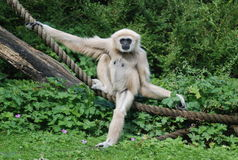 Un gibbon Immagine Stock