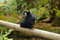 Un gibbon de siamang sur un logarithme naturel Photo stock